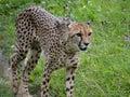 Cheetah cheetahs animals wildlife Stock Images