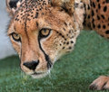 Cheetah close up face portrait of wild Stock Photos