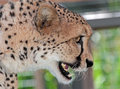 Cheetah close up face portrait of wild with open mouth Royalty Free Stock Photo