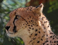 Cheetah close up profile face portrait of wild Royalty Free Stock Photos