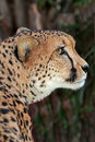 Cheetah close up profile face portrait of wild Royalty Free Stock Photo