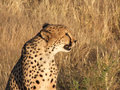 Cheetah closeup - Namibia Stock Photos