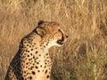 Cheetah closeup - Namibia Royalty Free Stock Photo