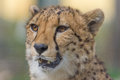 Cheetah closeup Royalty Free Stock Photo