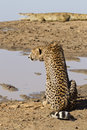 Cheetah and Crocodile, South Africa Royalty Free Stock Images