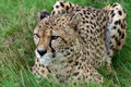 Cheetah crouching in the grass a close up of an african watching what is going on around her Royalty Free Stock Image