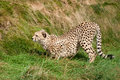 Cheetah Crouching in the Grass Ready to Pounce Royalty Free Stock Image