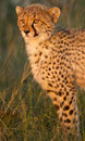 Cheetah cub with blood Royalty Free Stock Photo