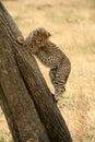 Cheetah cub climbing a tree Stock Photo