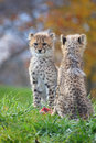 Cheetah cubs Stock Image