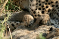 Cheetah cubs Royalty Free Stock Image