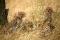 Cheetah cubs in the grass Royalty Free Stock Photo