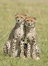 ,Cheetah cubs Royalty Free Stock Photo
