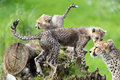 Cheetah cubs playing on wooden stump next to mother Stock Photography
