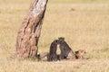 Cheetah with cubs at the savanna under a tree on savannah Stock Image