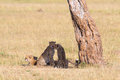 Cheetah with cubs in the shade lin under a tree on savannah Stock Image