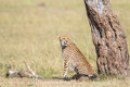 Cheetah with cubs sitting at a tree and watching Royalty Free Stock Photos