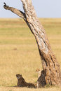 Cheetah with cubs under a tree on the savannah Stock Images