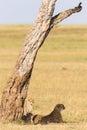 Cheetah with cubs under a tree on the savannah in masai mara Royalty Free Stock Photo
