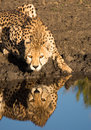 Cheetah drinking and reflection crouching at water's edge with tanzania Stock Images