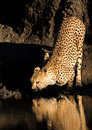 Cheetah drinking and reflection at water's edge with tanzania Royalty Free Stock Photo
