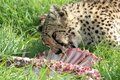 Cheetah eating prey Royalty Free Stock Images