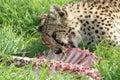 Cheetah eating prey Royalty Free Stock Photo