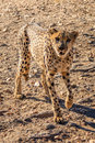 Cheetah in Erindi private game reserve, Namibia, Africa Royalty Free Stock Photo