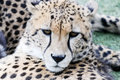 Cheetah face closeup Royalty Free Stock Photo