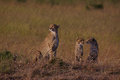 Cheetah family at sunrise Royalty Free Stock Photo