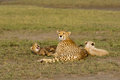 Cheetah family and two cubs in the african savannah Royalty Free Stock Photography