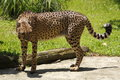 Cheetah the fastest land animal Stock Image