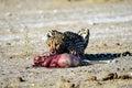 Cheetah With A Fresh Kill