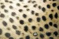 Cheetah fur print