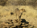 Cheetah in a game reserve Royalty Free Stock Photography