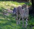 A Cheetah Gazing Royalty Free Stock Photo