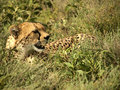 Cheetah in the grass a rests savanna of serengeti tanzania Stock Photography