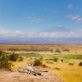 Cheetah having rest on a hill of Kenyan savanna Royalty Free Stock Photo