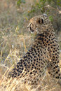 Cheetah hunting Royalty Free Stock Photography