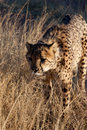 Cheetah Hunting Royalty Free Stock Photo