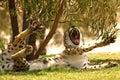 Cheetah Jaws Royalty Free Stock Photo