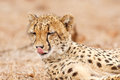 Cheetah licking his nose Royalty Free Stock Photo