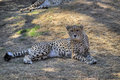 A cheetah lies down in the shade but keeps watching camera curiously Stock Photo