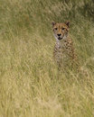 Cheetah in long grass sat attentively green savannah Stock Photo