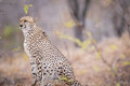 Cheetah on the look out. Royalty Free Stock Photo