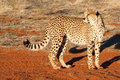 Cheetah looking back standing on the red sand of kalahari desert namibia Royalty Free Stock Images