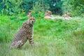 Cheetah looking at the camera Royalty Free Stock Photography