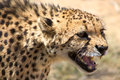 Cheetah looking for food close up of with desert background Royalty Free Stock Images