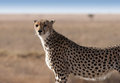 Cheetah a looking for his brother photo taken in serengeti national park tanzania Royalty Free Stock Photos