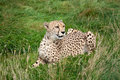 Cheetah Lying Down in Long Grass Royalty Free Stock Images